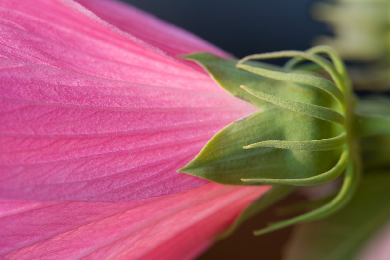 calyx of swamp rose mallow