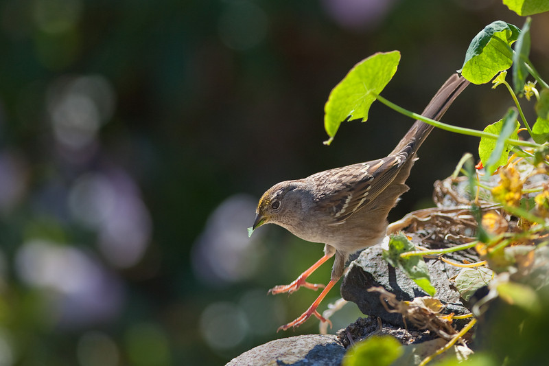 leaping golden-crowned sparrow
