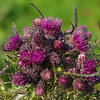 thistle profusion