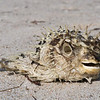 dead puffer fish on beach