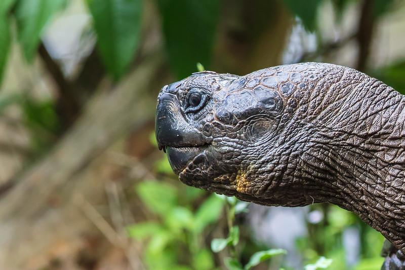 head of Galapagos tortoise