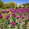 purple tulips in Public Garden
