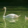 swan and ugly duckling 1