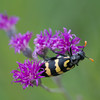 yellow and black bug on purple flower
