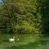 two swans in Vrelo Bosne