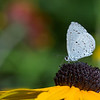 pale blue butterfly on cornflower