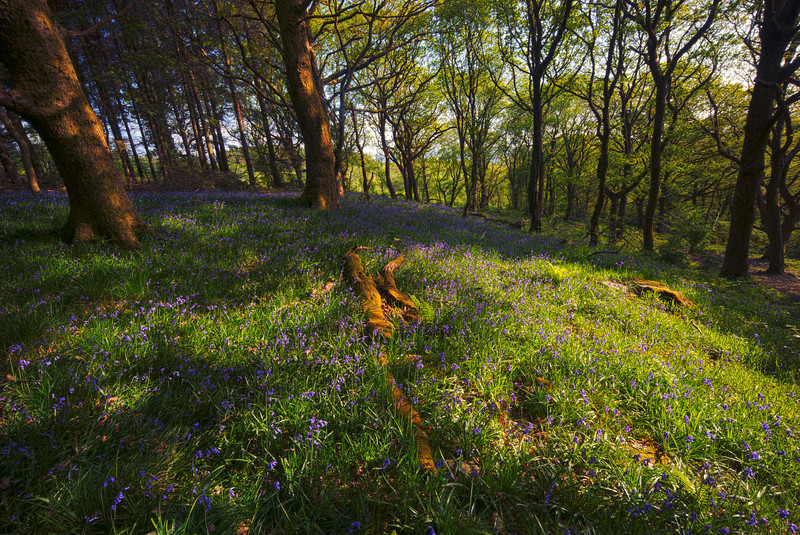 dappled bluebells in Brecon Beacons HDR
