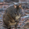 pademelon in woods