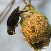weaver Viellot's black perching upside down over nest