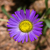 purple daisylike wildflower