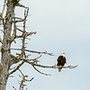 bald eagle on dead tree Vancouver Island