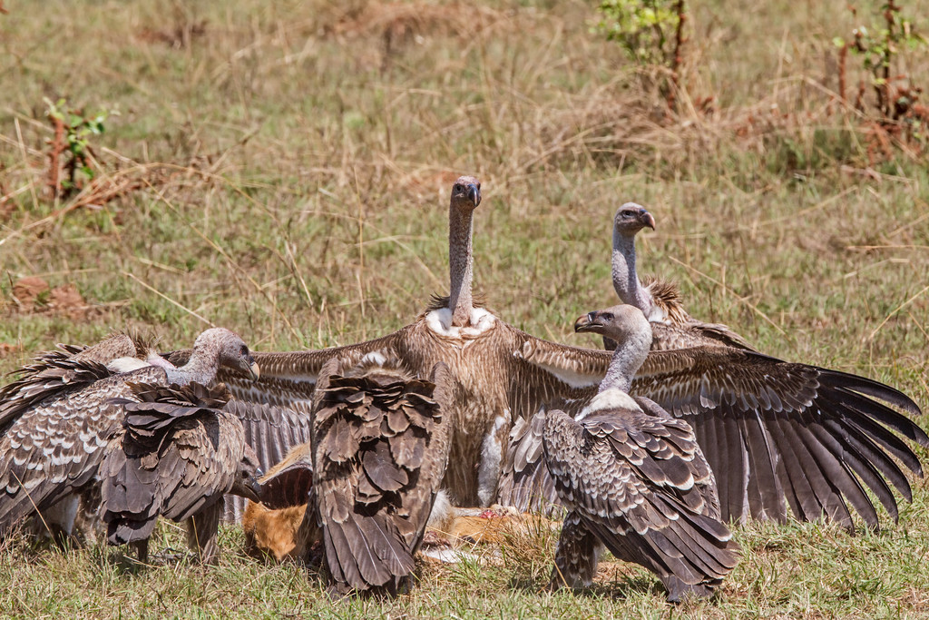 spread wings of Ruppell's griffon vulture over carcass