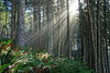 Trinidad Redwoods