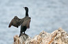 Cormorant Sunning on Catalina Island