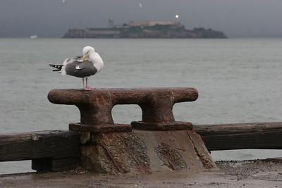 A free bird sits on a pier across from Alcatraz island.
