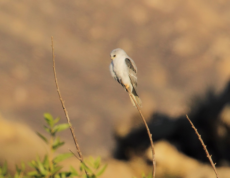 A juvenile White-tailed Kite in early-morning sun, November 12 2010.