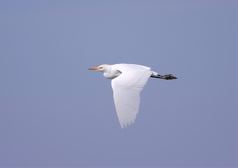 Cattle Egret in-flight, February 25 2012.