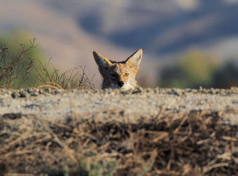 A coyote peeks over the rise at Pond 4, November 15 2010.