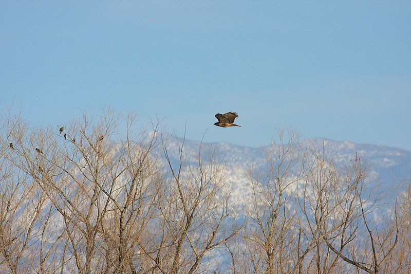 A Red-tailed Hawk flies through a winter scene at SJWA, February 20 2009.