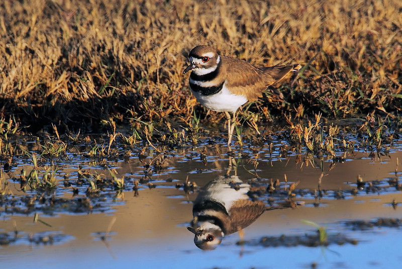 Kildeer, also near Pond 1, November 12 2010.