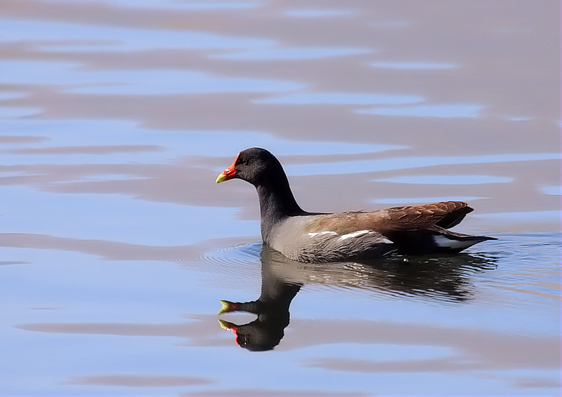 Now called Common Gallinule, formerly known as Moorhen, February 25 2012.