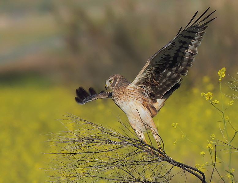 "In the ""triangle"" of grasses, plowed fields and ponds near the back area, a female Northern Harrier takes off from its perch, with wild mustard in the background, May 1 2010."