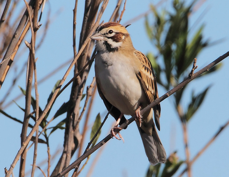 Another view of the Lark Sparrow, November 15 2010.