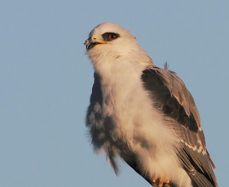 A closeup of the White-tailed Kite. Looks like it may have a growth, or a bit of something, on its beak?