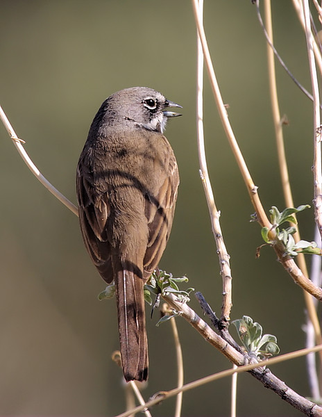 A beautiful Sage Sparrow, off Davis Road, February 25 2012.