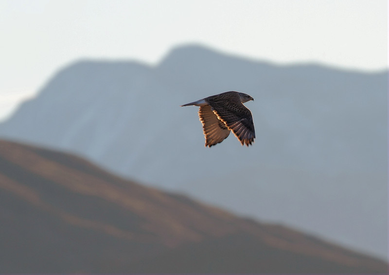 The Ferruginous Hawk with San Jacinto Mountain as a backdrop.