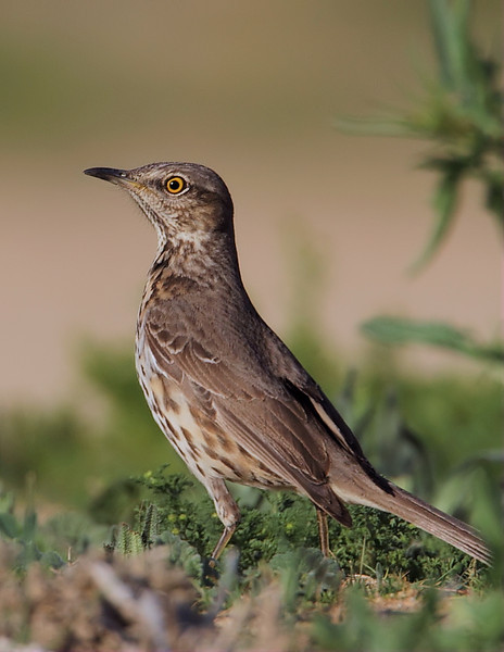 Sage Thrasher at the entrance to the Wildlife Area, March 10 2012.