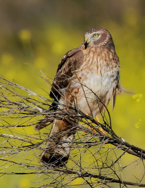 A female Northern Harrier portrait, May 1 2010.