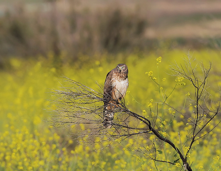 "A pull-back shot of the female Northern Harrier showing the field of wild mustard in the ""triangle"" near the back area, May 1 2010."