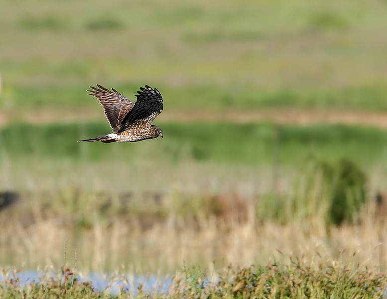 Mrs. Northern Harrier in the back area, February 3 2012.