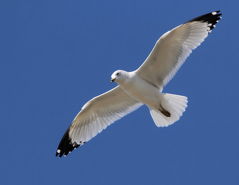 A Ring-billed Gull was also in the Gull Mix above the Wildlife Area on Monday November 15, 2010.