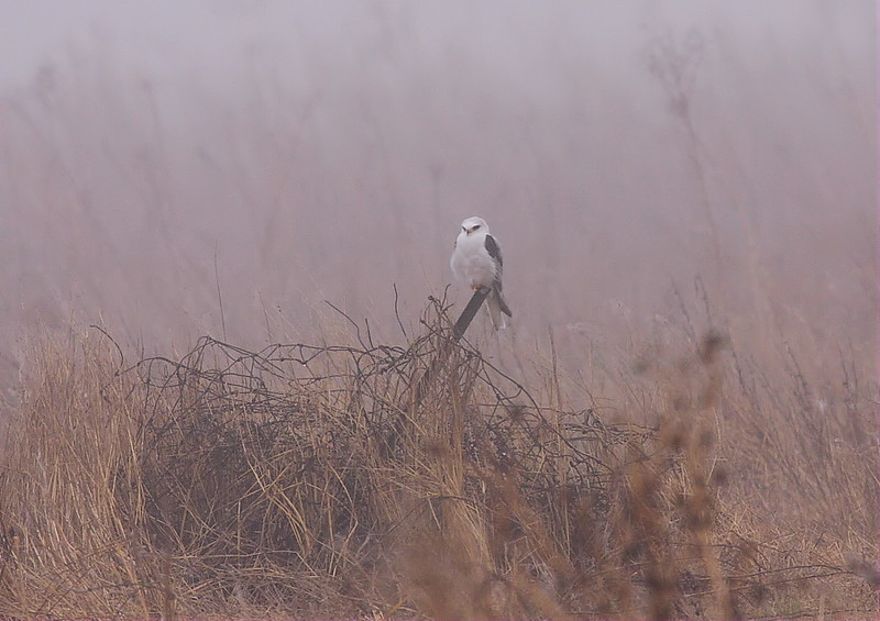 White-tailed Kite in the field off Bridge Street, February 25 2012.