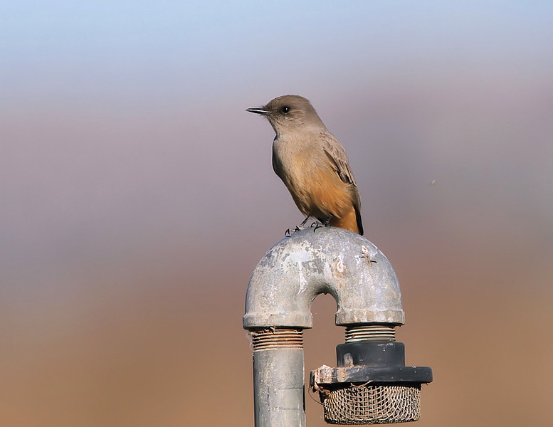 A Say's Phoebe is also at the water pump along with the Kingfisher and Kingbird, November 15 2010.