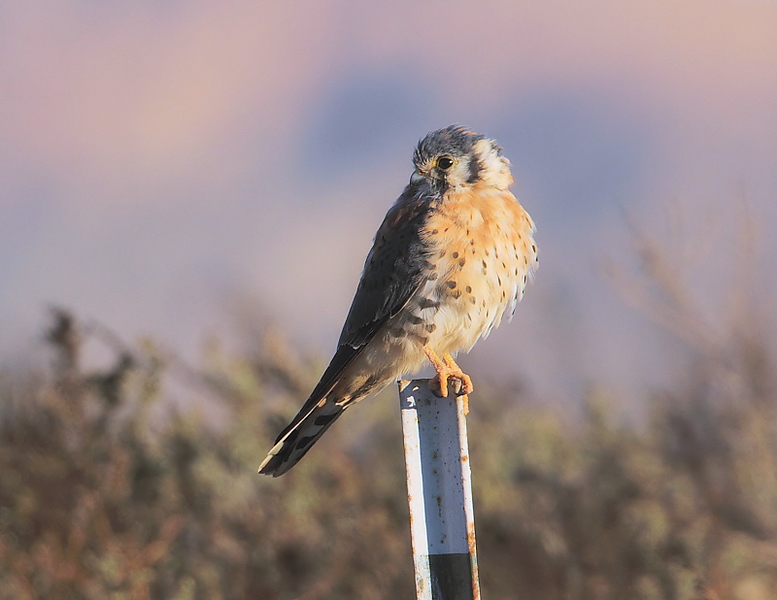Male American Kestrel keeping watch near Pond 1, November 12 2010.