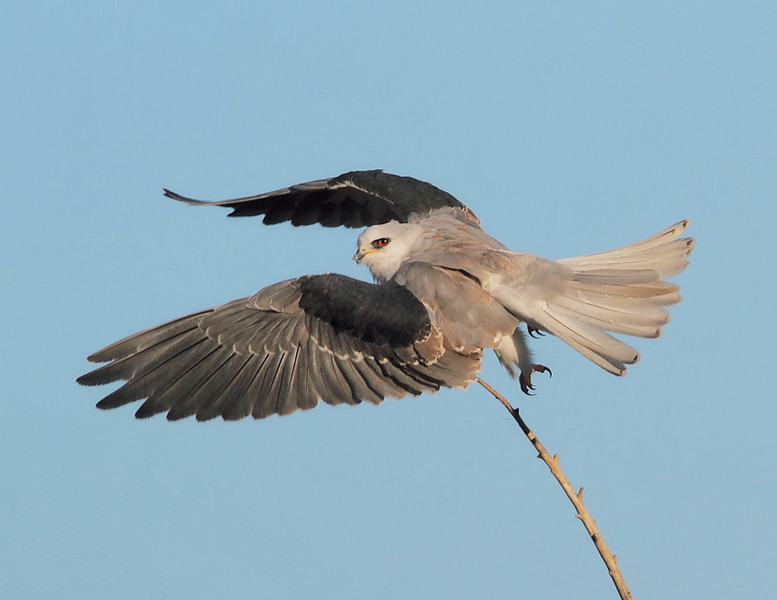 A juvenile White-tailed Kite takes off after its early-morning preening, November 15 2010.