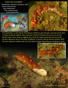 Giant Sea Cucumber, aka California Sea Cucumber. Low Island, San Juan Islands. June 6, 2009