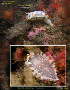 CLOWN NUDIBRANCH, Triopha catalinae  and  DIAMOND BACK TRITONIA,	Tritonia festiva. REEF survey. James Island North Wall. San Juan Islands, WA.  April 24, 2010