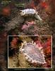 CLOWN NUDIBRANCH, Triopha catalinae  and  DIAMOND BACK TRITONIA,Tritonia festiva.<br /> REEF survey. James Island North Wall. San Juan Islands, WA.  April 24, 2010