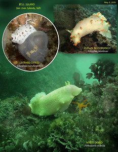 Nudibranchs - Bell Island, San Juan Islands, May 9, 2009