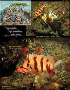 TIGER ROCKFISH	    Sebastes nigrocinctus Breakfast Rock,  Griffin Bay, San Juan Island. July 16, 2010