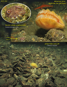 Taking picture of SPINY PINK SCALLOP 	( Chlamys hastata ) in a patch of dead shells, I did not notice the tiny PACIFIC SPINY LUMPSUCKER	( Eumicrotremus orbis ) until I download the picture onto my computer.  Breakfast Rock,  Griffin Bay, San Juan Island. July 16, 2010