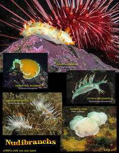 Some of the nudibranchs sighted at Larry's Lair and Breakfast Rock. San Juan Channel, San Juan Island, July 16, 2010