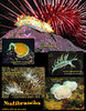 Some of the nudibranchs sighted at Larry's Lair and Breakfast Rock.<br /> San Juan Channel, San Juan Island, July 16, 2010