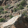 Rock squirrel on the lookout