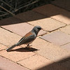 My sister, Jean, tells me this is a Dark Eyed Junco.  He was visiting the visitors center at the Audubon Sanctuary at Santa Fe.