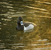 Male Ring-necked Duck, Santee Lakes, CA